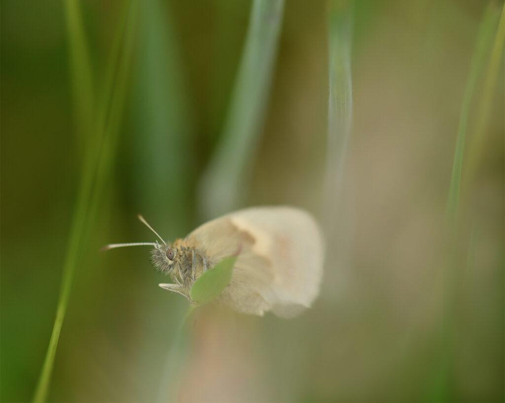 Unda McKie - 4. Small heath in long grass, Holyrood Park